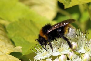 Buff-tailed bumblebee (Bombus terrestris) male Cumnor.jpg