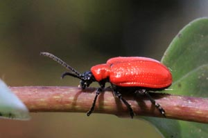 Scarlet lily beetle (Lilioceris lilii).jpg