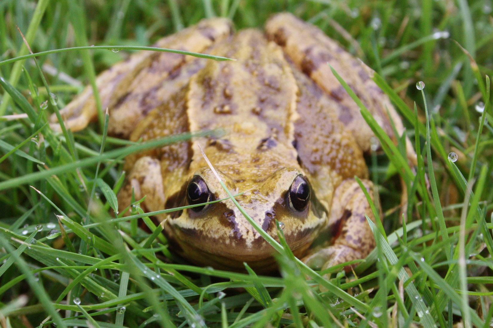 Common frog (Rana temporaria).jpg