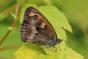 Gatekeeper butterfly (Pyronia tithonus) male underside.jpg