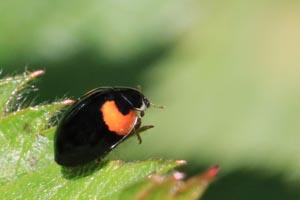 Harlequin ladybird (Harmonia axyridis) Cumnor.jpg