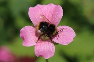 Early bumblebee  (Bombus pratorum).jpg