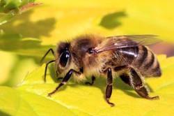 Honey bee (Apis mellifera).jpg