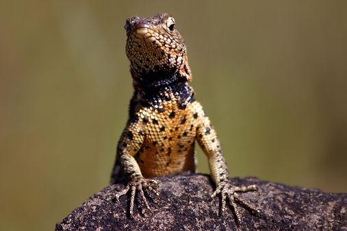 Lava lizard (Microlophus jacobi) male Santiago Island