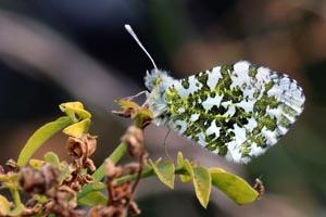 Orange tip butterfly (Anthocharis cardamines) female.jpg