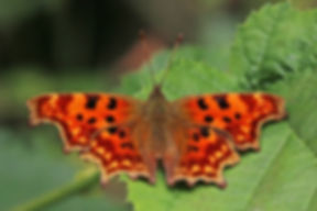 Comma butterfly (Polygonia c-album) ab. hutchinsoni