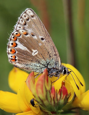 Adonis blue (Polyommatus bellargus) female ab. obsoleta