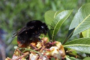 Red-tailed bumblebee (Bombus lapidarius).jpg