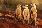 Meerkat (Suricata suricatta) 3.jpg