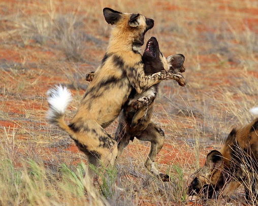 African wild dog (Lycaon pictus pictus) with springbok