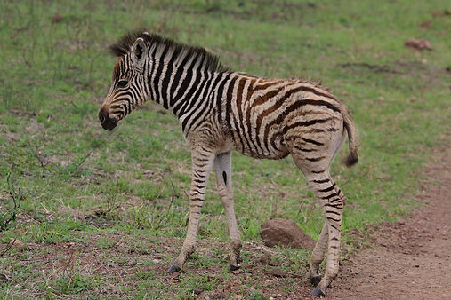 Burchell's zebra (Equus quagga) male one day old