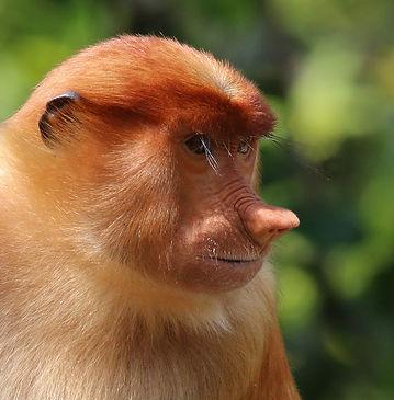 Proboscis monkey (Nasalis larvatus) female