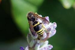 European potter wasp (Ancistrocerus gazella) dorsal.jpg