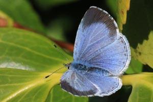 Holly blue butterfly (Celastrina argiolis) female.jpg