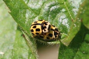 14-spotted ladybirds (Propylea quatuordecimpunctata) mating.jpg