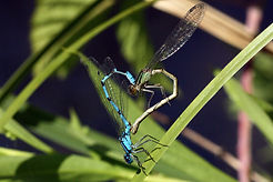 Common blue damselflies (Enallagma cyathigerum) female dull green form mating wheel