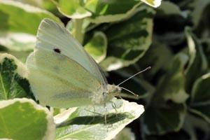 Large white butterfly (Pieris brassicae) female underside.jpg