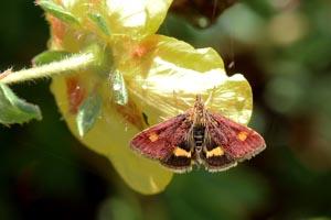 Mint moth (Pyrausta aurata).jpg
