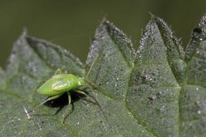 Plant bug (Pinalitus cervinus) nymph.jpg