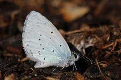 Holly blue butterfly (Celastrina argiolus) underside.jpg
