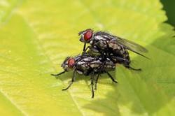 Flesh flies (Sarcophaga carnaria) mating.jpg