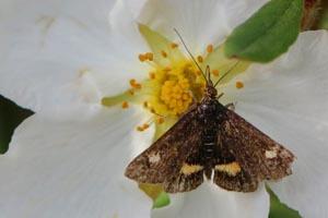 Mint moth (Pyrausta aurata) worn.jpg