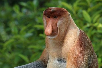 Proboscis monkey (Nasalis larvatus) male