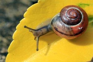 White-lipped snail (Cepaea hortensis) on leaf.jpg