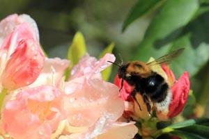 Tree bumblebee (Bombus hypnorum) in flight.jpg