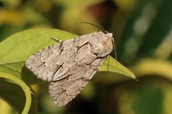 Grey dagger moth (Acronicta psi).jpg
