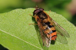 Hoverfly (Epistrophe melanostoma).jpg