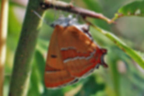 Brown hairstreak butterfly (Thecla betulae) female ready to lay