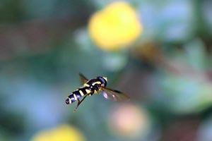 Hoverfly (Xanthogramma pedissequum) in flight.jpg