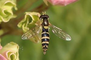 Long hoverfly (sphaerophoria scripta) female.jpg