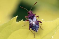 Plant bug (Rhopalus subrufus).jpg