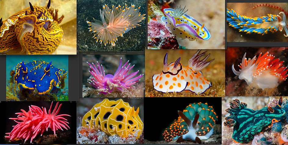 NUDIBRANCHS GALLERY.png