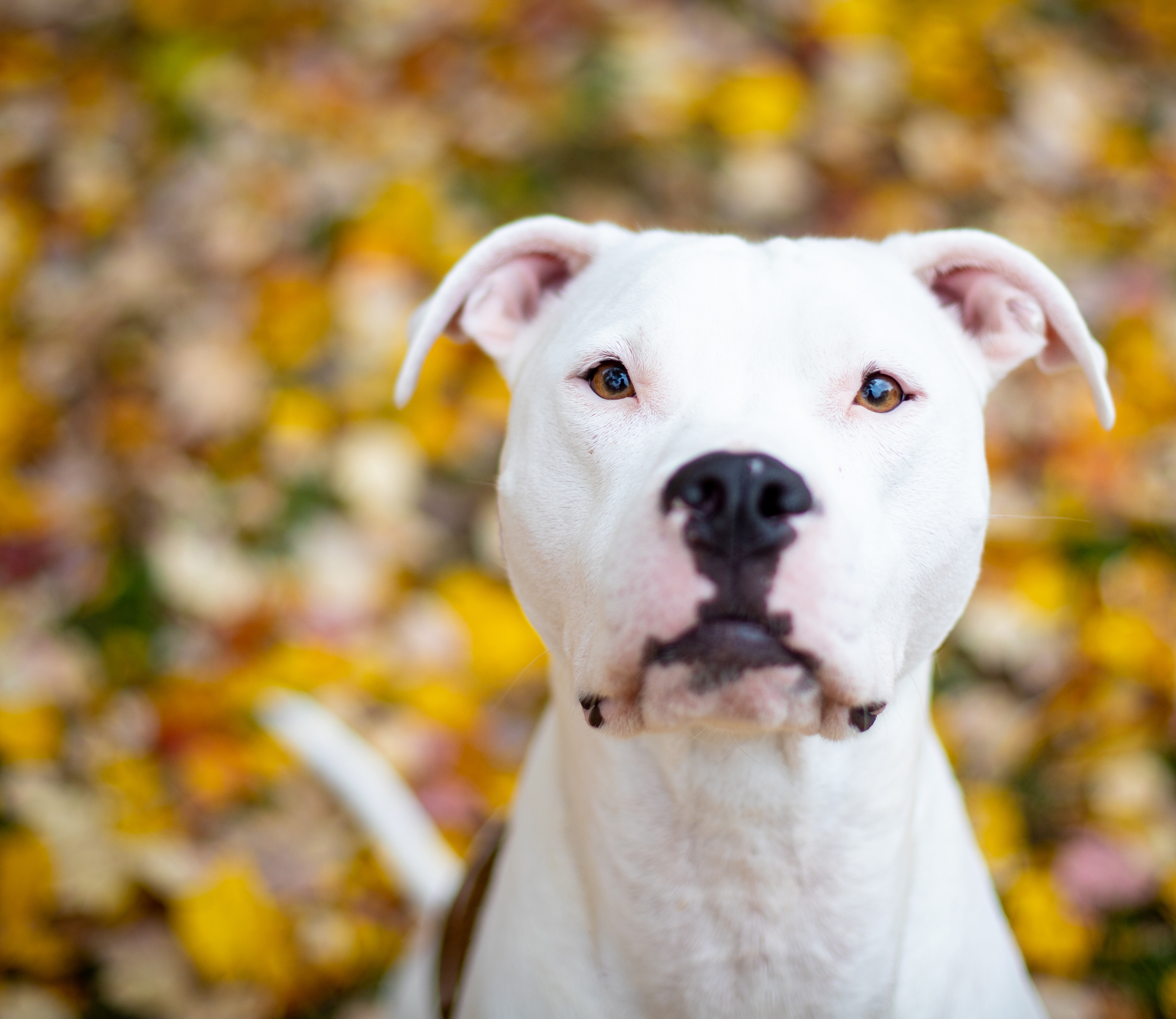 Home | PA | Bella-Reed Pit-Bull Rescue, Inc