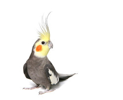 White-parrot-picture-material-5-41437