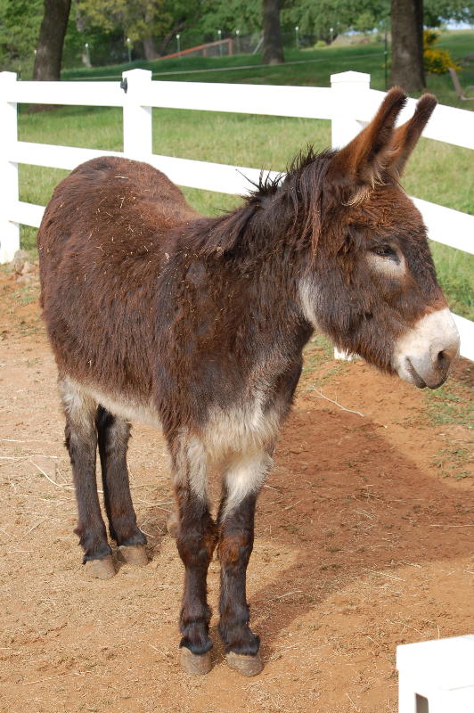 Moses, the cute donkey