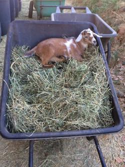 Ricky the goat