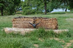 Bull head, cross country jump