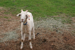 One of the many rescued goat