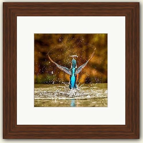 Kingfisher Emerging Framed Print