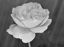 Roahl Dahl Rose