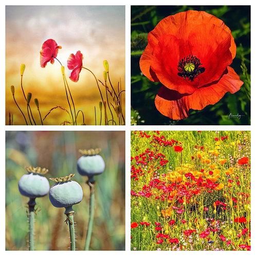 The Poppies Collection - Greeting Cards