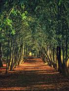 Yew Tree Arch Apley Woods