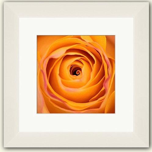 Close of a Rose Framed Print