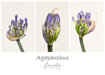 Agapanthus Triptych