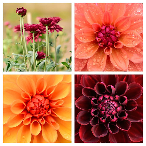 The Dahlia Collection - Greeting Cards