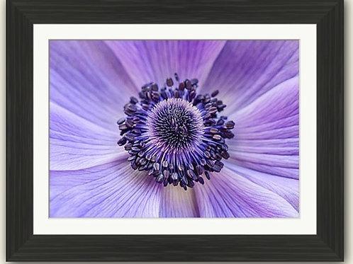 Anemone Close Up - Framed Print